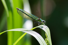 Beautiful Demoiselle female (Paul Braham Photography) Tags: macro animal animals closeup insect fly insects flies creatures