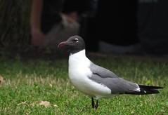 Laughing Gull (VancouverBirder) Tags: laughing gull leucophaeus atricilla liberty island nyc new york city united states usa black headed