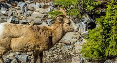 female bighorn sheep - sulphur mtn, banf NP, canada (AB) 5 (Russell Scott Images) Tags: canada mountains rocky ab canadian alberta banff banffnationalpark bighornsheepoviscanadensis