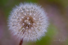 Dandelion Wish (Images by April) Tags: canon weed dandelion makeawish canon5dmarkii