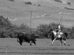 072504-sm-loose-bull-8 (Al Cerv) Tags: nobull bull rodeo salinas shotgun ragingbull ahibieneeltoro
