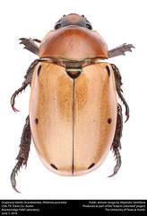 Grapevine beetle (Scarabaeidae, Pelidnota punctata) (insectsunlocked) Tags: coleoptera scarabaeidae rutelinae grapevinebeetle pelidnotapunctata pelidnota ppunctata