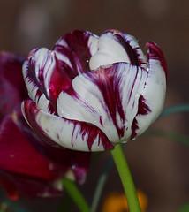 2016_06_0170 (petermit2) Tags: tulipainsulinde tulip tulipa insulinde bolsovercastle bolsover castle heritage garden venusgarden heritagegarden derbyshire englishheritage heritagetulip