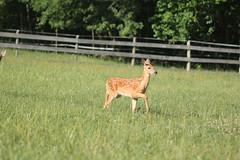 IMG_9226 (thinktank8326) Tags: nature wildlife deer spots fawn whitetaileddeer babyanimal