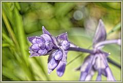 _JVA7625_DxO (mrjean.eu) Tags: park pink blue white france flower macro fleur rose yellow fleurs jaune garden rouge nikon jardin vert bleu botanic lorraine botanique parc metz 105mmf28 flowerws grteen