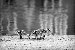 Inge Hoogendoorn (ingehoogendoorn) Tags: blackandwhite bird birds three geese zwartwit vogels denhaag goose ganzen trio blacknwhite thehague hofvijver vogel drie babygoose babygeese littlegoose gansjes littlegeese