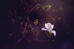 Magnolia Bloom in July ((Sarah Robinson)) Tags: magnolia stellata tree bush flower buds bloom blooming july summer pods fuzzy light dusk dof outdoors outside backyard nikon d750 105mm micro nature natural curled opening starmagnolia white purple pink green branches branch sarah robinson