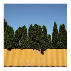 Yellow Fence (ngbrx) Tags: sky plants yellow fence europe republic pflanze himmel hedge slovakia zaun eastern slowakei slovak hecke gebsch osteuropa malacky