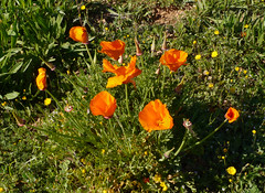 Californian poppy (Eschscholzia californica), Queribus (Niall Corbet) Tags: france languedoc roussillon aude flora flower orange poppy californianpoppy eschscholziacalifornica queribus