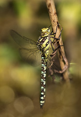 Migrant Hawker dragonfly (julie.johnson931) Tags: ngc canon7dmk2 sigma105macrolens dragonfly blue bokeh wild field free coth5 greatphotographers