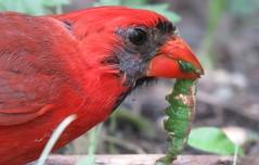 IMG_1855 (Mel's Looking Glass) Tags: red cardinal catepillar