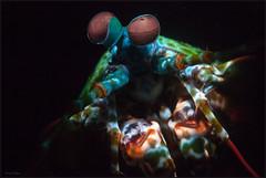 IMG_9923 (NonnaSP) Tags: animals bali diving macro mantisshrimp nature ocean odontodactylusscyllarus peacockmantisshrimp sea seraya snoot tulamben underwaterphotography water