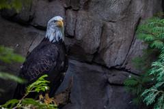 fierce stare (jimmy_racoon) Tags: 70200 f4l is canon 5d mk2 bald eagle nature raptor 70200f4lis canon5dmk2 baldeagle