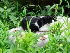 cat (hamapenguin) Tags: animal cat straycat neko    apple iphone
