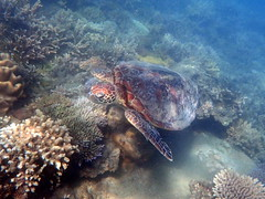 Green sea turtle Fitzroy Island (dracophylla) Tags: fitzroyisland greatbarrierreef queensland australia