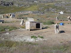 Food? (tleu) Tags: greenland dogs sisimiut sledge arctic