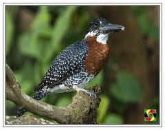 Giant Kingfisher - Ceryle maxima (Crested Aperture Photography) Tags: cerylemaxima giantkingfisher nile rivernile river whitenile uganda ug jinja africa eastafrica aves bird birds pssaro vogel uccello