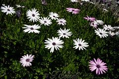 Allegra fioritura a Guamaggiore (Franco Serreli) Tags: sardegna sardinia guamaggiore fiori fioricampestri fioritura florasarda floraefaunasarda flora trexenta
