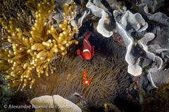 Red Nemos (Alexandre R. dos Santos) Tags: cruise fish coral indonesia underwater nemo wideangle snorkeling clownfish anemone adventures abel lombok komodo underwaterphotography gililaba abeltours abeltravel lomboktraveladventures