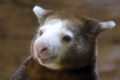 a smile for your Monday (ucumari photography) Tags: sc animal south columbia carolina april riverbankszoo 2015 dendrolagusmatschiei dsc1337 specanimal ucumariphotography matschie'streekangaroo
