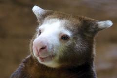 a smile for your Monday (ucumari photography) Tags: sc animal south columbia carolina april riverbankszoo 2015 dendrolagusmatschiei dsc1337 specanimal ucumariphotography matschie'streekangaroo