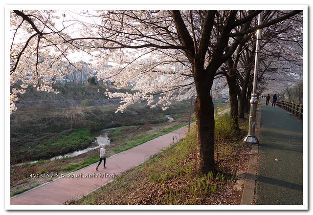 양재천벚꽃10