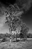 scraggly gums (daniel_james) Tags: 2015 bentley nsw australia rural northcoast northernrivers farm blackandwhite backcreek canon1022mm tree canon400d