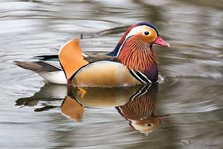 The Mandarin duck (Aix galericulata), or just Mandarin