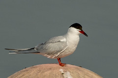Common Tern at Nene Park Trust 10/04/15 (johnatkins2008) Tags: flying gulls flight seabirds ferrymeadows coastalbirds commonterns neneparktrust johnatkins2008