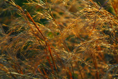 Golden grass (GOJR.) Tags: light sun nature helios442 olympusomdem10
