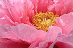 Peony Bush big bloom IMG_1813 (ForestPath) Tags: pink ohio usa home spring backyard cincinnati may large vivid verypink 6in 15cm peonybush usedtopazcleanonthiscloseupbuttheclusterisntedited takenonacloudydaywhichactuallyworkedbetterthansunshinewiththese