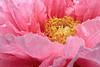 Peony Bush big bloom IMG_1813 (ForestPath) Tags: pink ohio usa home spring backyard cincinnati may large vivid verypink 6in 15cm peonybush usedtopazcleanonthiscloseupbuttheclusterisntedited takenonacloudydaywhichactuallyworkedbetterthansunshinewiththese