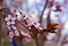 Beautiful harbringers of Spring! (ineedathis,The older I get the more fun I have....) Tags: pink flowers blue red brown nature leaves garden petals spring branch bokeh blossoms stamen plumtree plumblossoms ornamentalplumtree hppt nikond750