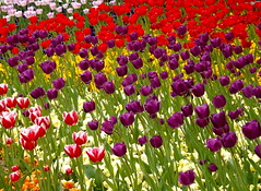 Spring me joy (vegeta25) Tags: flowers red flower green spring colorful hungary purple tulips magyar magyarország zala virágok nagykanizsa tulipánok zalamegye 115picturesin2015 52weeksthe2015edition week172015 weekstartingthursdayapril232015
