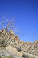 joshuatree2015 (36) (Kat Lux) Tags: california desert joshuatree wildflowers desertflowers catci