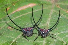 Makunda Arachnids-699 - Macracantha arcuata (Vijay Anand Ismavel) Tags: nikond800 makundaspiders makundaarachnids macracanthaarcuata
