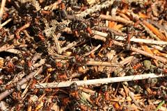 Formica rufa (gripspix (On D-Tox!)) Tags: ants ameisen formicarufa redwoodant groserotewaldameise 20150511