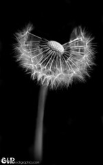 Dandelion wishes in black and white (claudy75) Tags: flowers ball flora blow dandelion seeds wildflower macroflowers blowball dandelionmacro monoflowers mono|