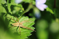 Pisaura mirabilis (Mariie76) Tags: macro beige vert animaux marron feuilles verdure araigne mirabilis arachnide macrophotographie pisaura pisauridae
