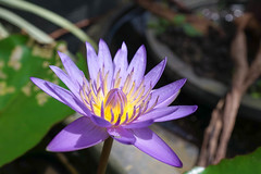 Closed up of purple waterlily in sunlight, Thailand. Water Lily or Nymphaeum - a charming and delicate flower. Selective focus (enchanted.fairy) Tags: