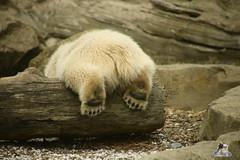 Eisbr Lilli im Zoo Bremerhaven 30.04.2016 Teil 2  06 (Fruehlingsstern) Tags: sunset sonnenuntergang polarbear lloyd lili bremerhaven zooammeer valeska eisbr canoneos750 tamron16300