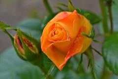 Sunny rose! (Maria Godfrida) Tags: orange flower green nature rose garden flora colorful sunny bud colourful flowerbud