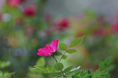 waiting (gwuphd) Tags: rose zeiss diy bokeh f19 140mm projectionlens petzval kipronar