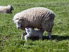 Schapen bij Ransdorp, 8-5-2016 (kees.stoof) Tags: sheep landschap noordholland schapen lammetje ransdorp