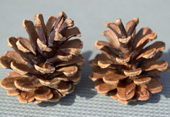 Fir Cones (Tony Worrall) Tags: county uk england brown nature season outside outdoors spring stream colours open place northwest cone unitedkingdom country seasonal north visit location lancashire seeds national colourful northern update grown attraction pinecones fircone lancs outs fircones welovethenorth
