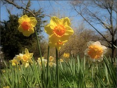 (Tlgyesi Kata) Tags: garden spring daffodil narcissus narzissen nrcisz budaiarbortum withcanonpowershota620 felskert