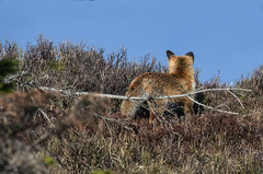 En chasse (mrieffly) Tags: renard canoneos50d geishouse vosgesalsace 100400issriel