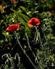 _DSC1265 -coquelicots (Le To) Tags: flowers nature fleurs nikon lumire couleurs poppies fiori extrieur contrejour papaveri coquelicots nikond5000