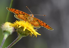 spotted fritillary, Melitaea didyma (1 of 3 images) (willjatkins) Tags: macro papillon fritillaries fritillary spottedfritillary sigma105mm melitaeadidyma melitaea frenchwildlife macrowildlife butterfliesofeurope nikond7100 frenchbutterflies butterfliesoffrance papillonsdefrance wildlifeoffrance wildlifeofprovence butterfliesofprovence papillonsdeprovence