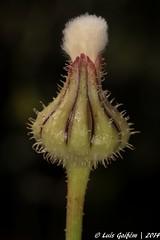 Urospermum picroides (L.) Scop. ex F. W. Schmidt (Lus Gaifm) Tags: flower macro planta nature natureza flor plantae asteraceae mindelo urospermumpicroides frfara barbasdeviejo pricklygoldenfleece leitugaamargosa leitugadeburro lusgaifm barbadejove